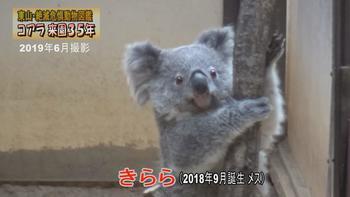 コアラ来園35年.JPG